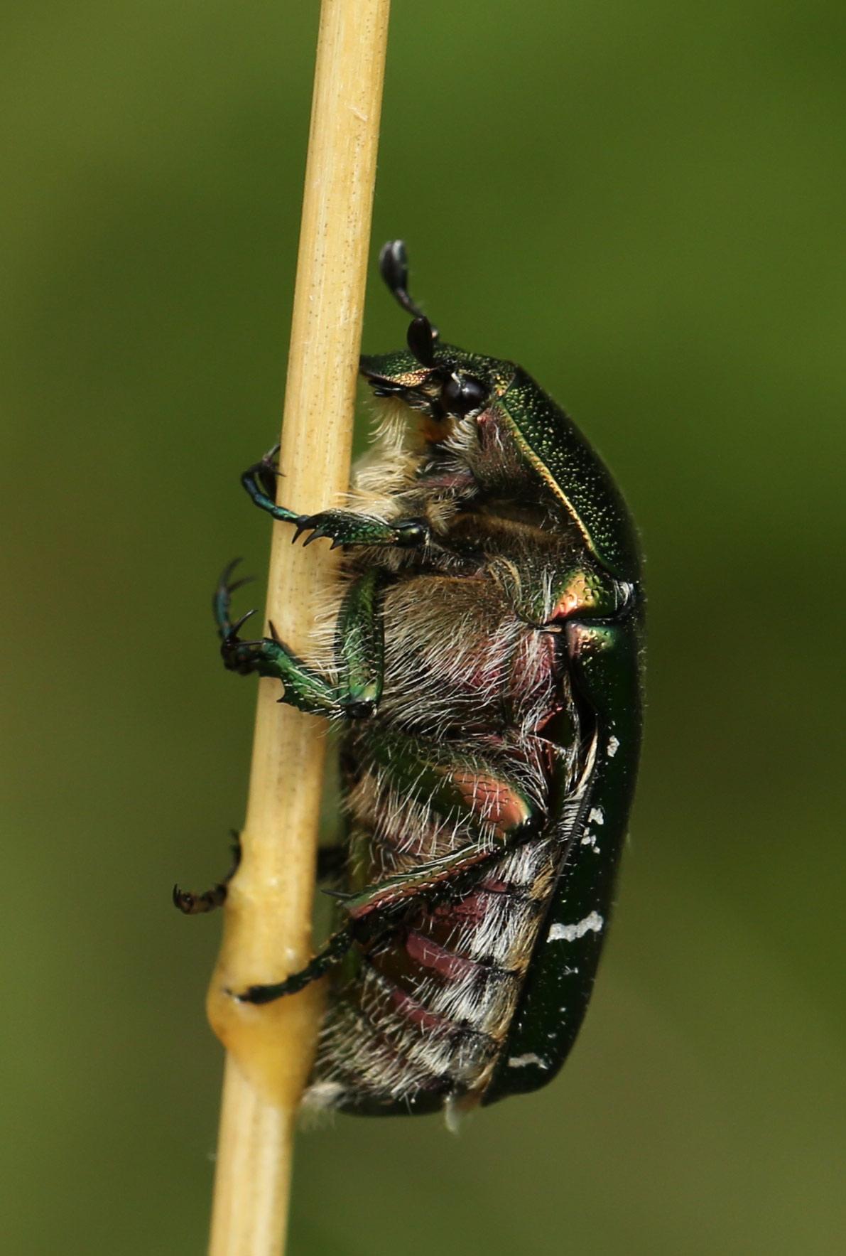 Foto/billede af Kobberguldbasse (Protaetia cuprea)