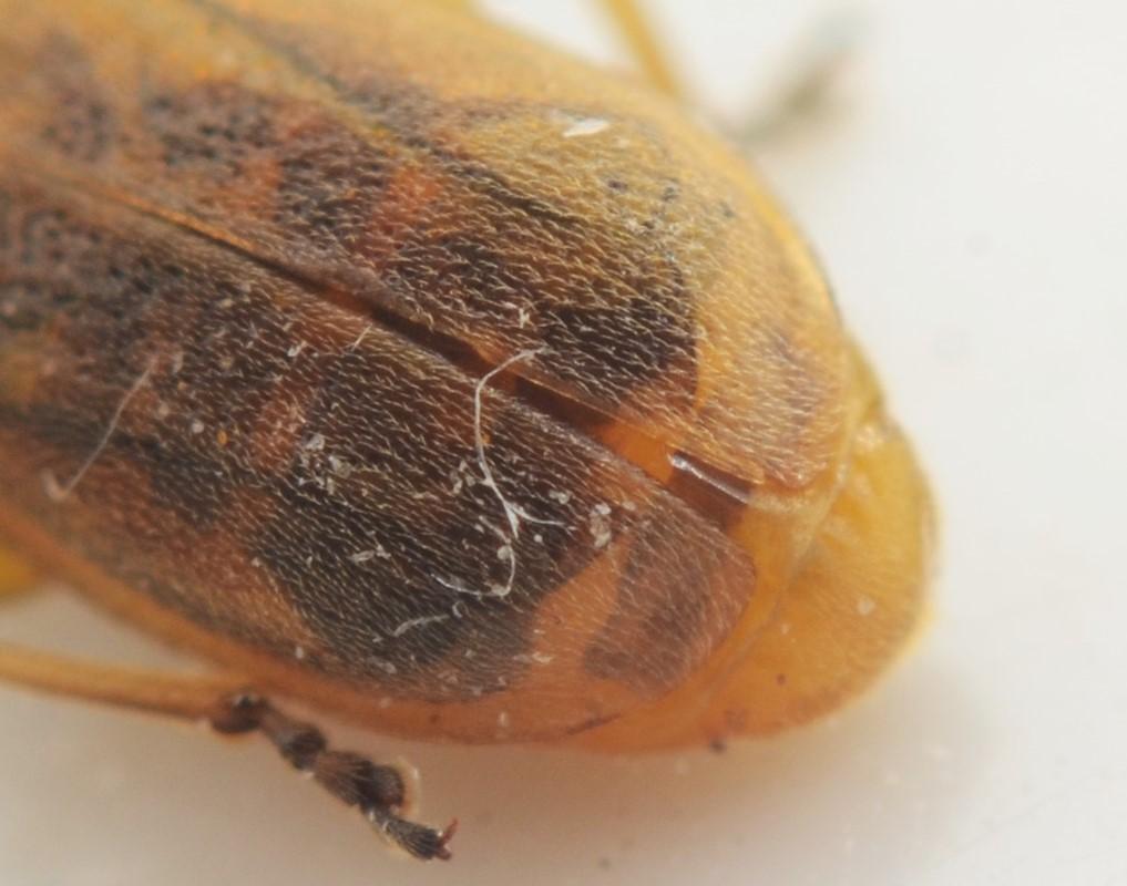 Foto/billede af Galerucella grisescens (Galerucella grisescens)