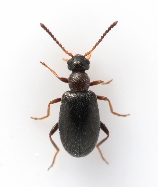 Foto/billede af Anidorus nigrinus (Anidorus nigrinus)