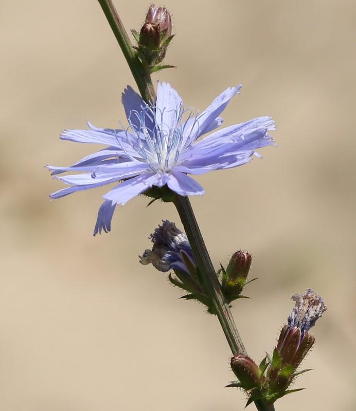 Foto/billede af Cikorie (Cichorium intybus)