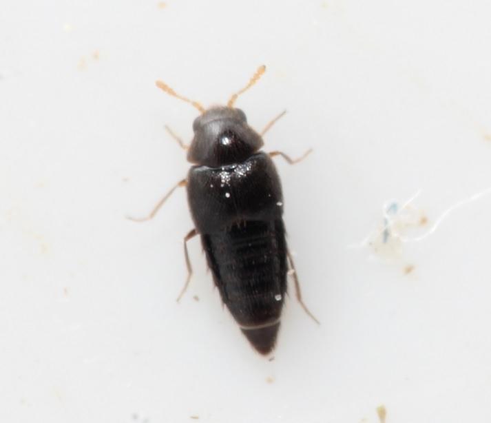 Cypha sp. (Cypha sp.)