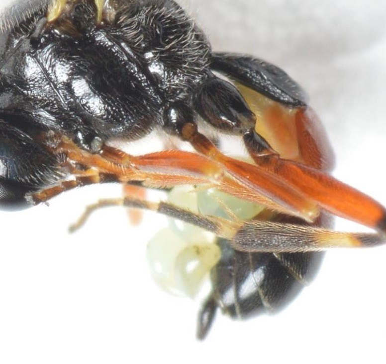 Polyblastus varitarsus