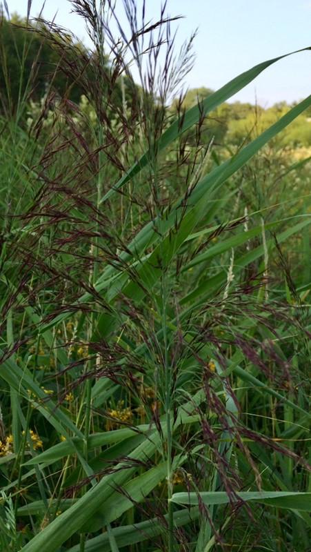 Foto/billede af Tagrør (Phragmites australis)