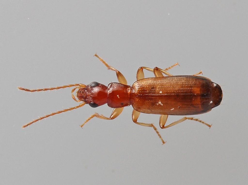 Foto/billede af Smal Sivløber (Paradromius linearis)