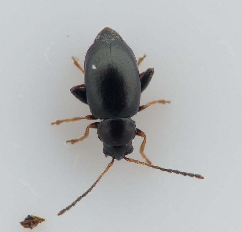 Longitarsus anchusae (Longitarsus anchusae)