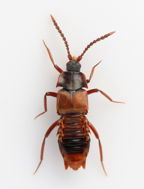 Foto/billede af Lomechusa emarginata (Lomechusa emarginata)