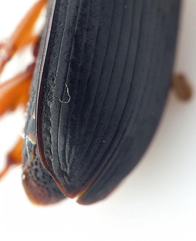 Foto/billede af Almindelig Markløber (Harpalus latus)