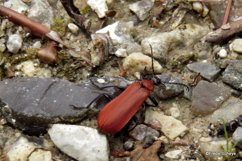 Foto/billede af Sorthovedet kardinalbille (Pyrochroa coccinea)