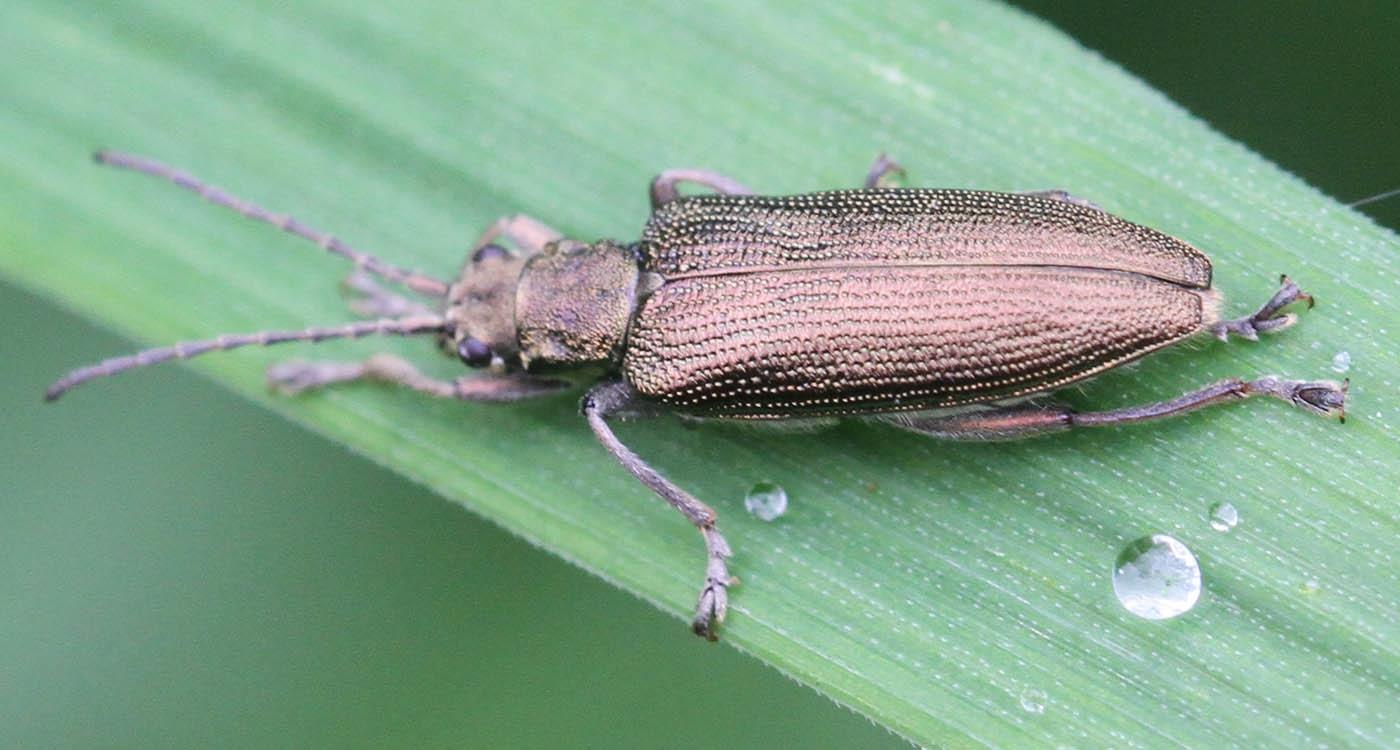 Donacia simplex (Donacia simplex)