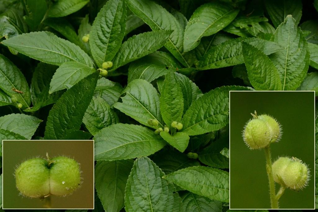 Foto/billede af Almindelig bingelurt (Mercurialis perennis)