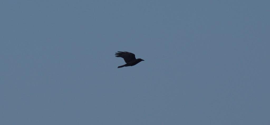 Foto/billede af Sortkrage (Corvus corone)