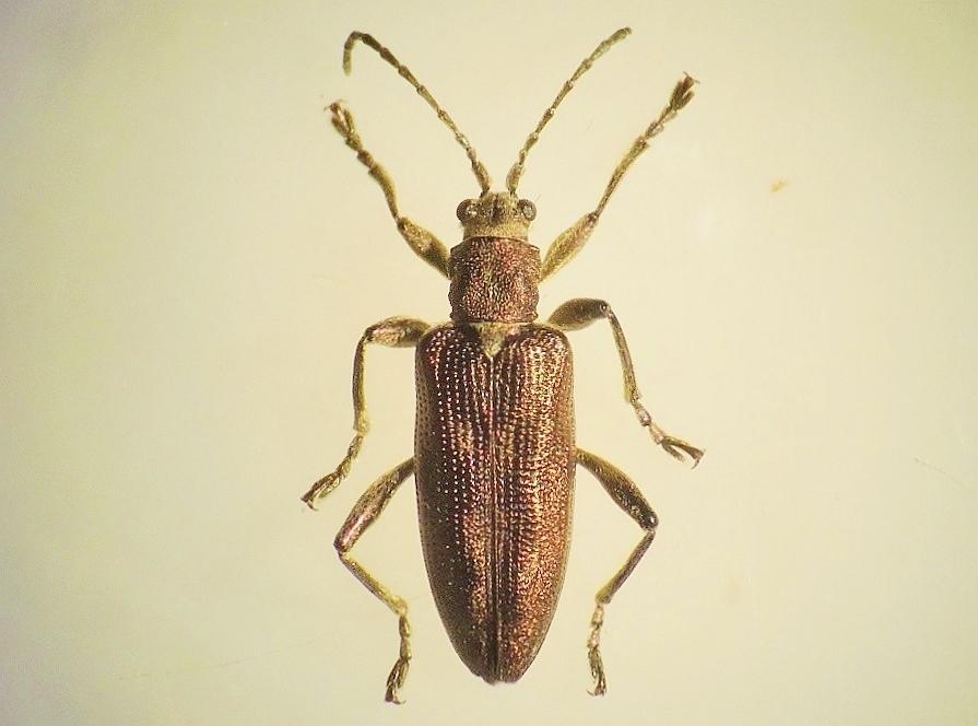 Donacia brevicornis (Donacia brevicornis)