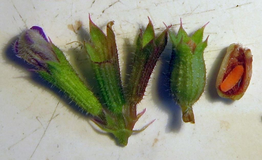 Janetiella glechomae