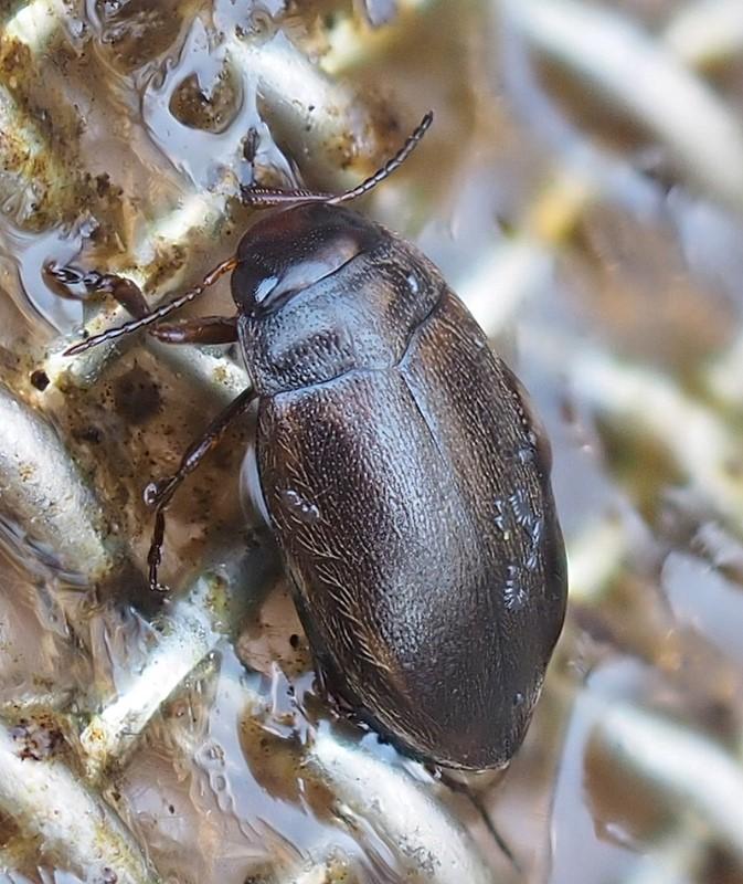 Hydroporus striola (Hydroporus striola)