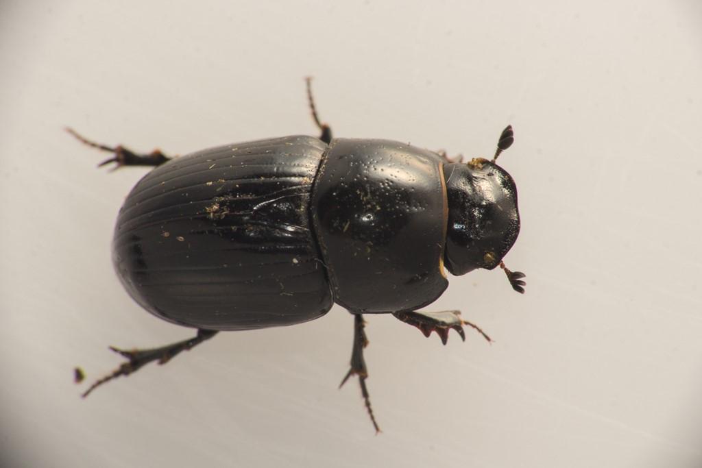 Foto/billede af Stor Møgbille (Aphodius fossor)