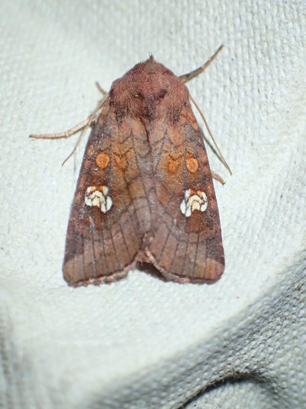 Øje-Græsugle (Amphipoea oculea)