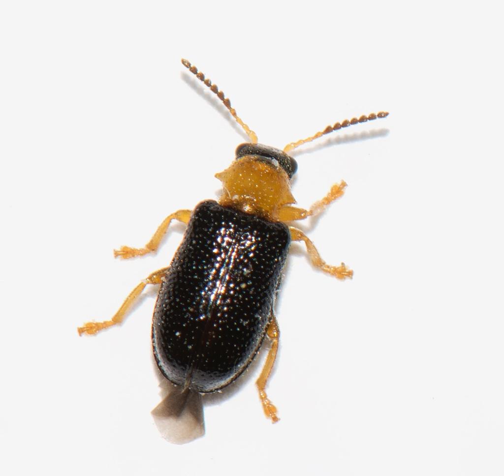 Foto/billede af Gulhalset Bladbille (Zeugophora flavicollis)