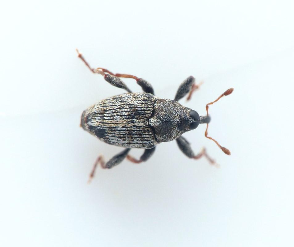 Coryssomerus capucinus