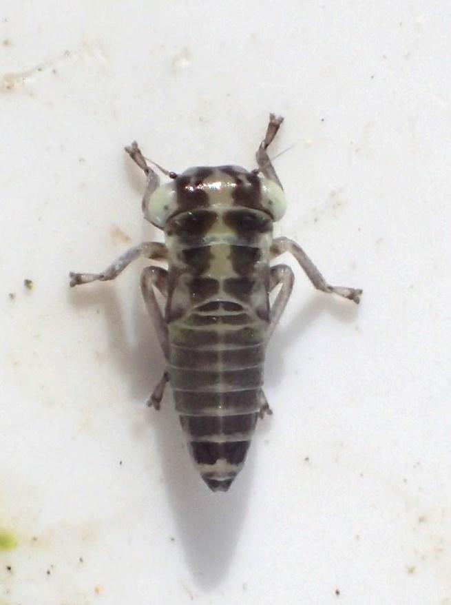 Bævreaspcikade (Populicerus populi)