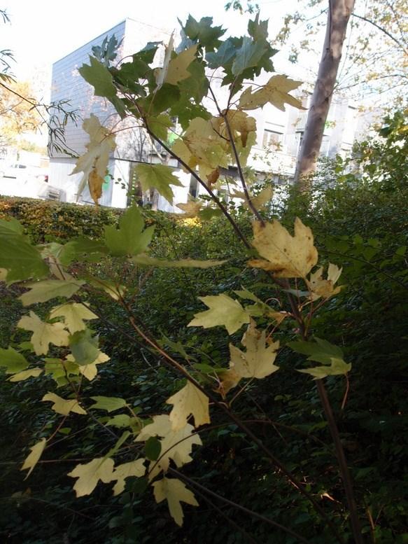 Sølv-Løn (Acer saccharinum)