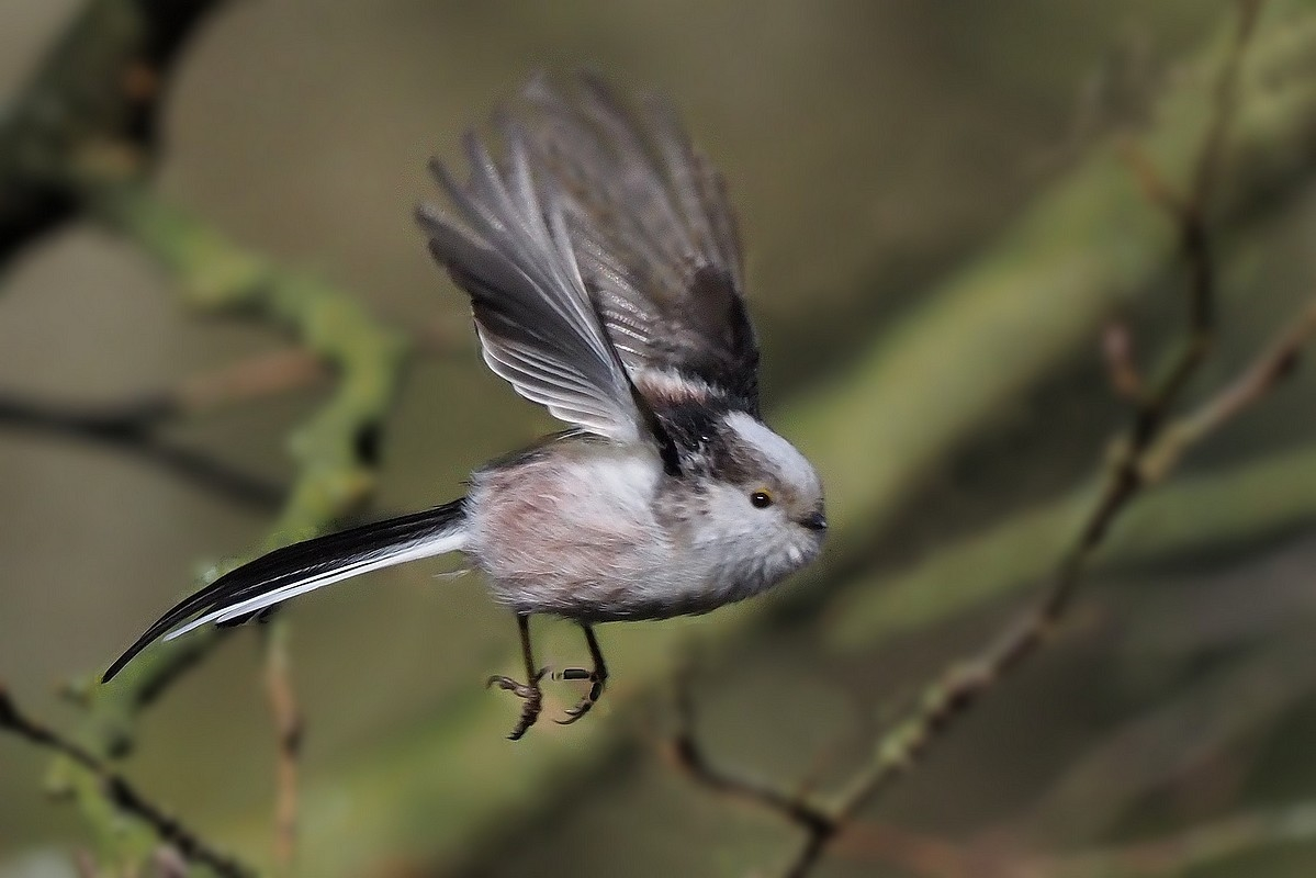 Foto/billede af Halemejse (Aegithalos caudatus)