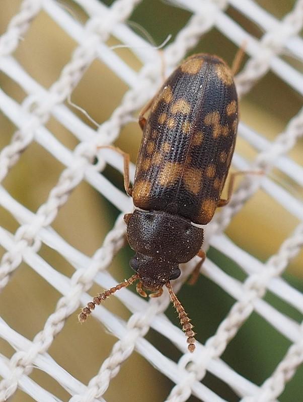 Foto/billede af Mycetophagus multipunctatus (Mycetophagus multipunctatus)