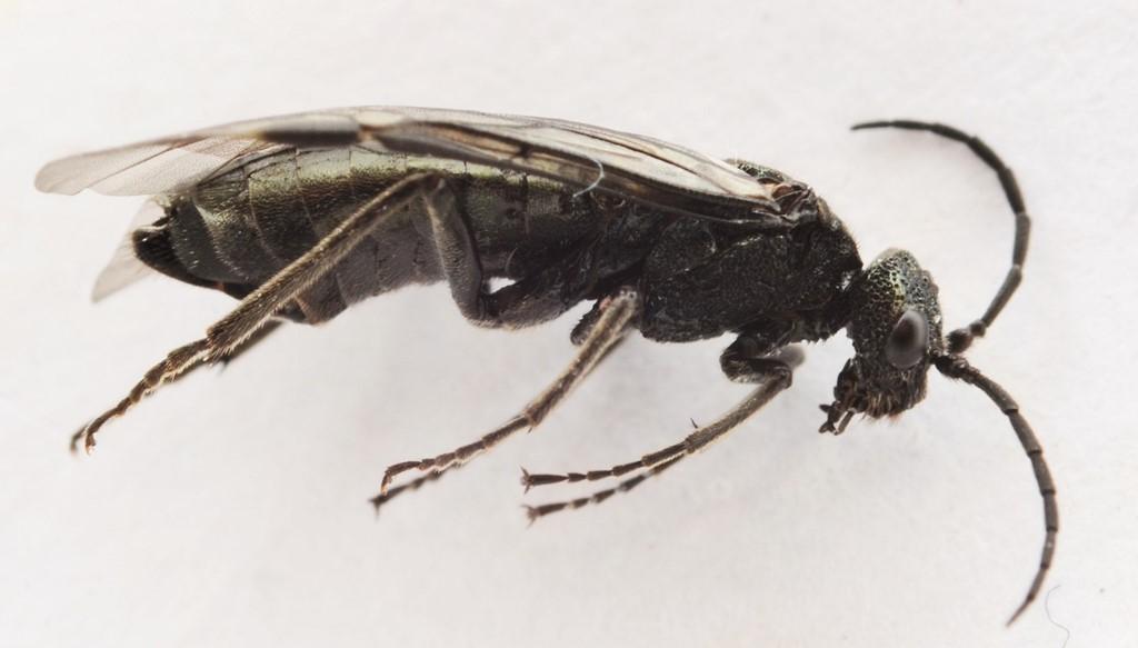 Dolerus anthracinus
