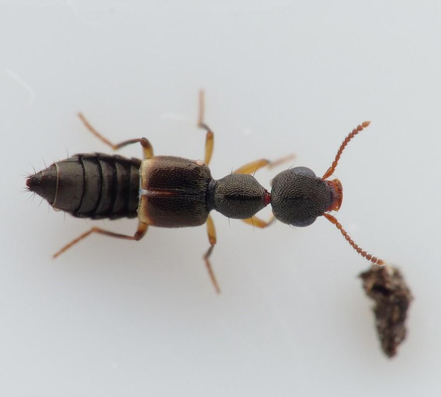 Foto/billede af Rugilus orbiculatus (Rugilus orbiculatus)