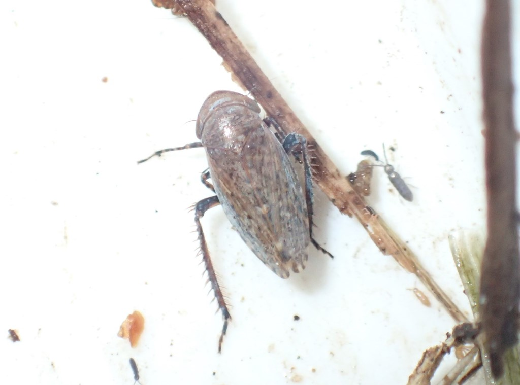 Stroggylocephalus livens (Stroggylocephalus livens)