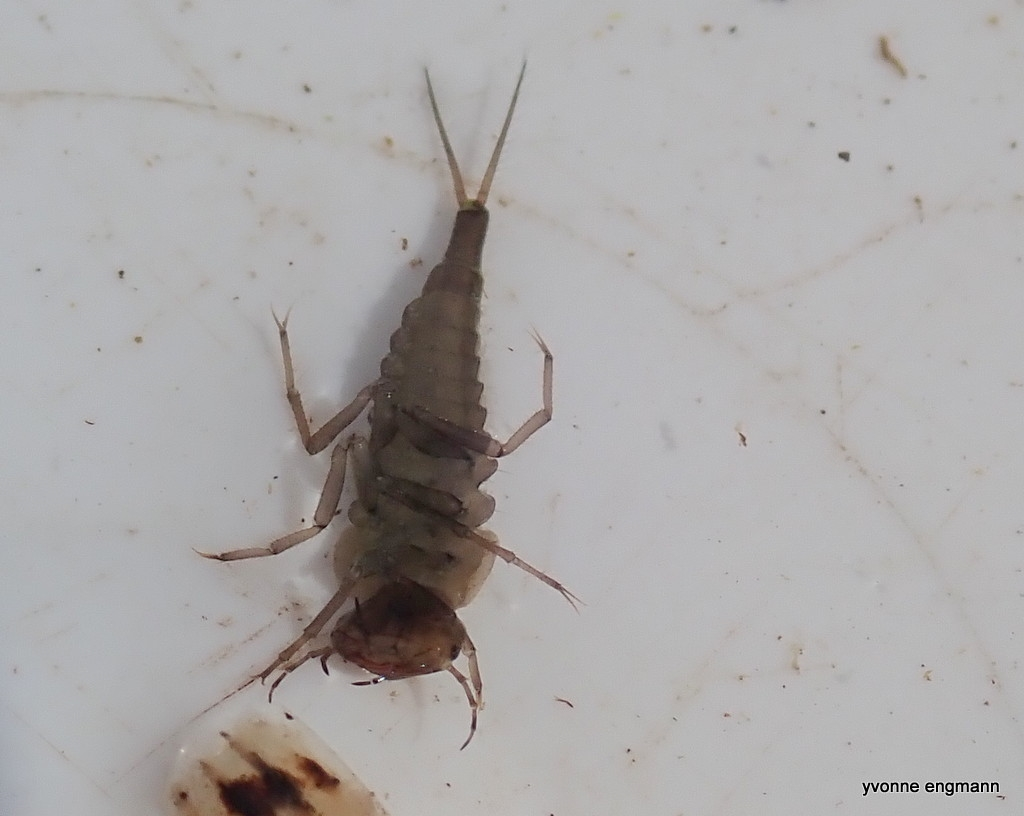 Colymbetes sp. (Colymbetes sp.)
