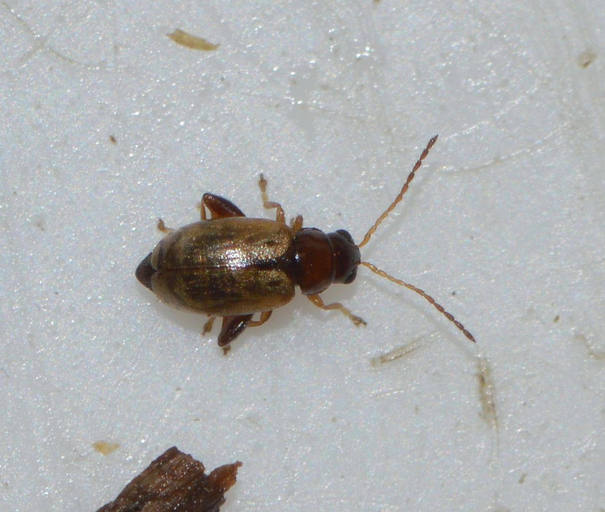 Longitarsus pratensis (Longitarsus pratensis)