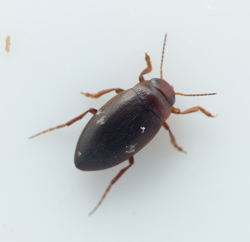 Hydroporus angustatus (Hydroporus angustatus)