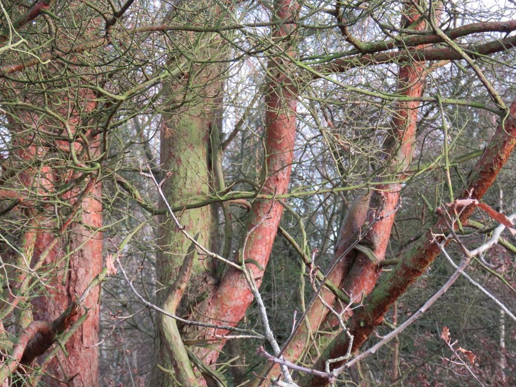 Almindelig Skov-Fyr
