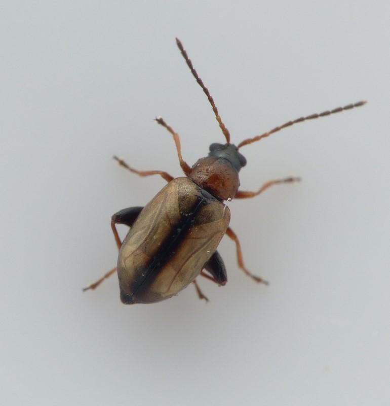 Longitarsus ganglbaueri (Longitarsus ganglbaueri)