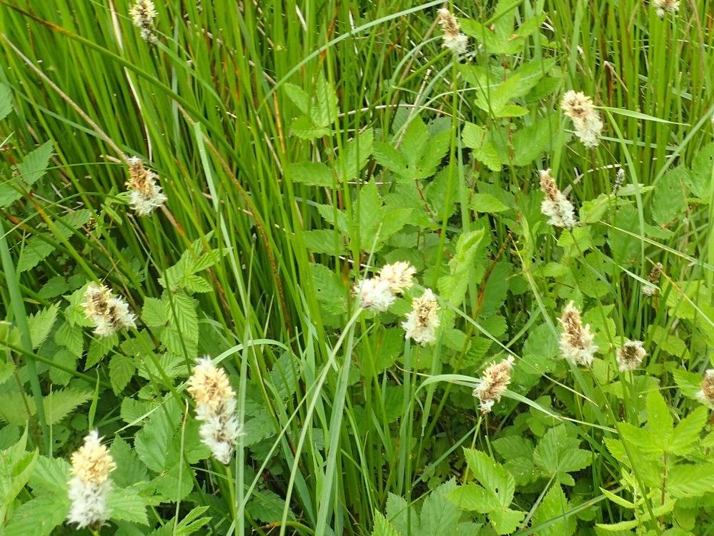 Toradet Star (Carex disticha)