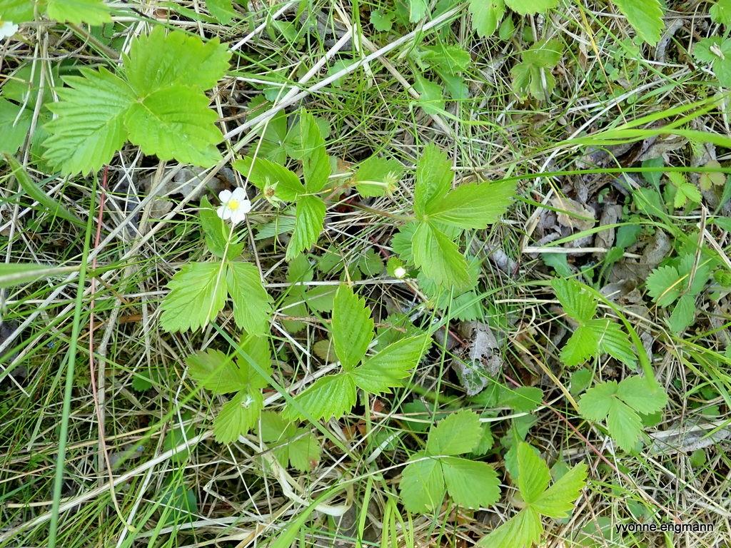 Skov-Jordbær (Fragaria vesca)