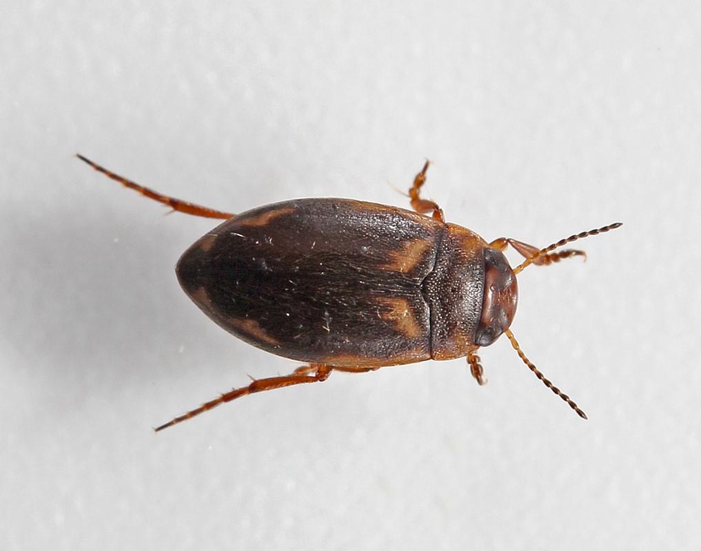 Foto/billede af Hydroporus palustris (Hydroporus palustris)