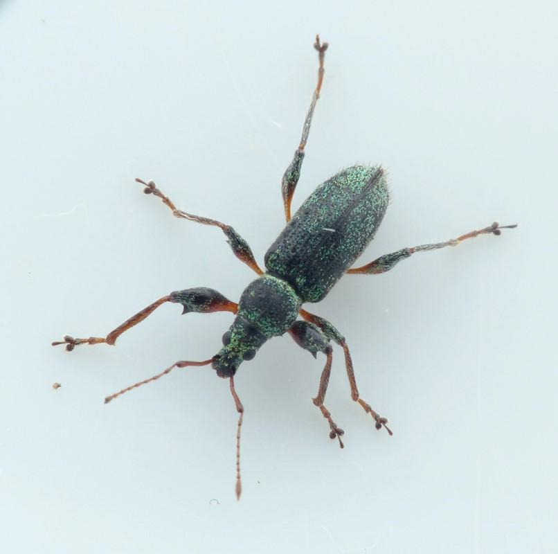 Foto/billede af Phyllobius arborator (Phyllobius arborator)