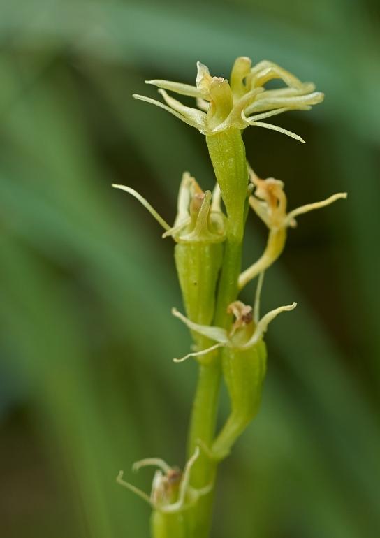 Mygblomst (Liparis loeselii)