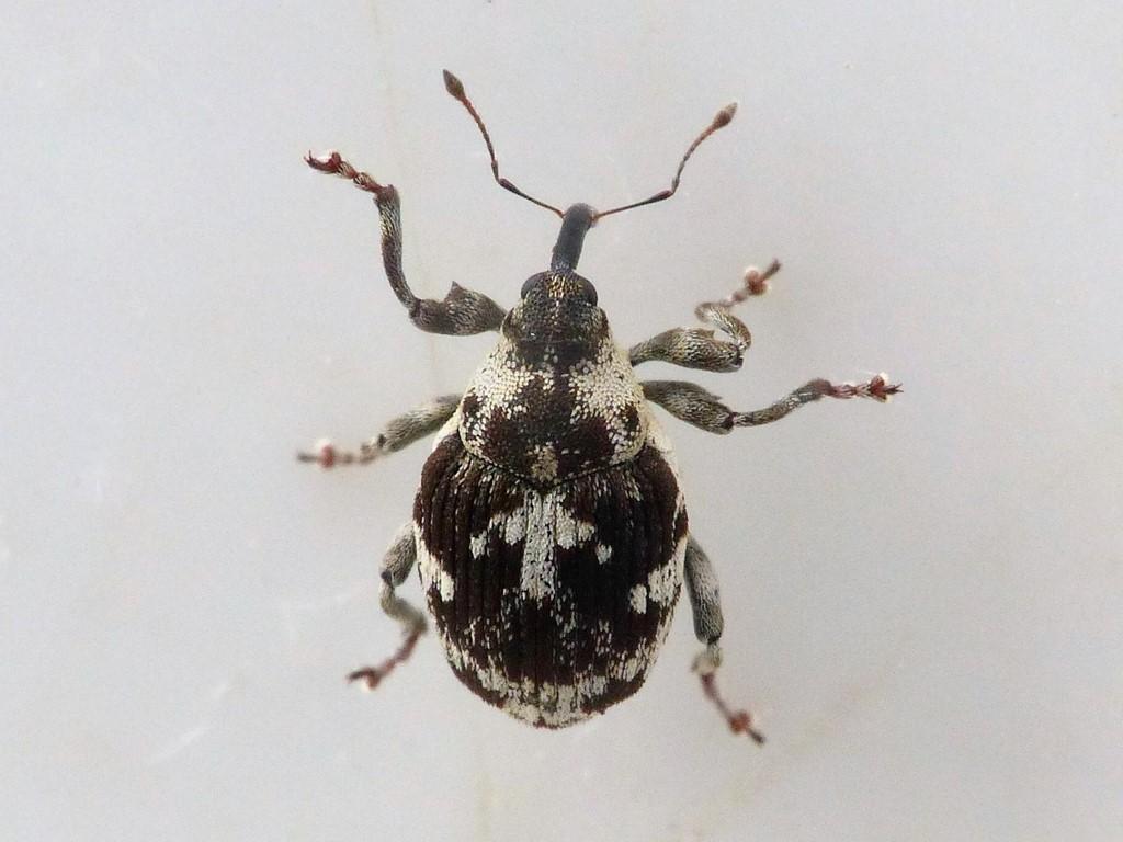 Hadroplontus litura (Hadroplontus litura)