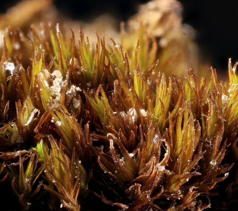 Foto/billede af Stiv Kalktuemos (Didymodon rigidulus)