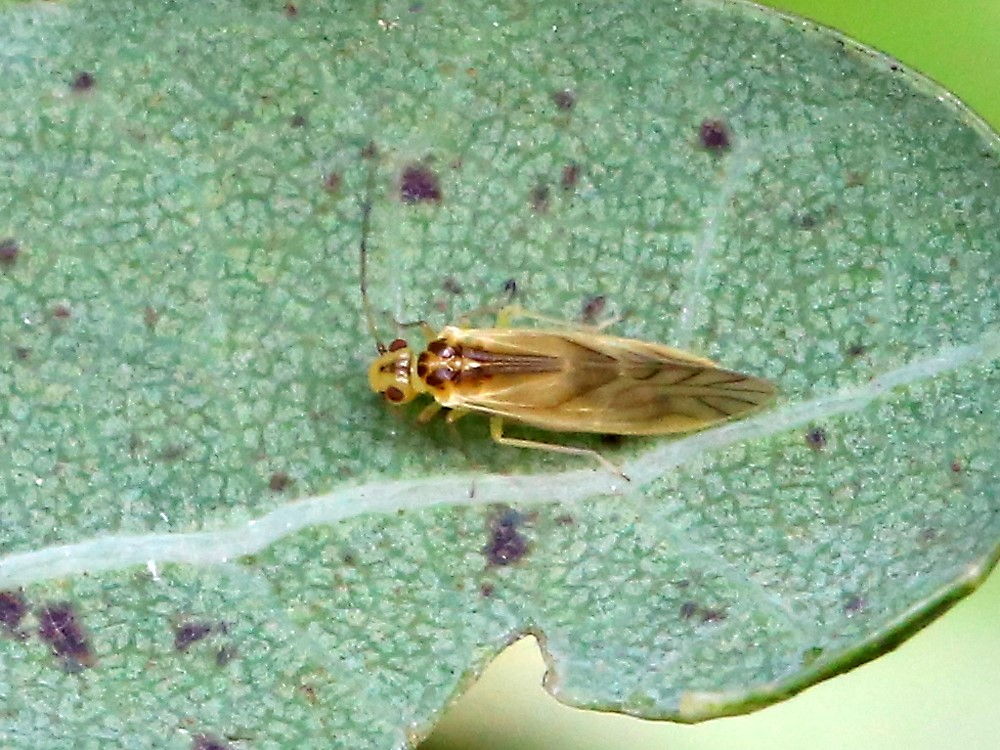 Valenzuela flavidus (Valenzuela flavidus)