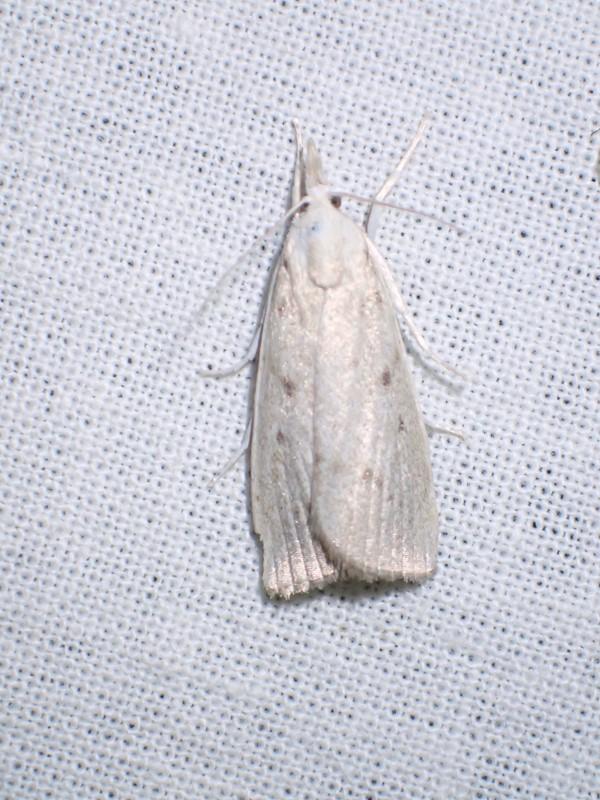 Dunhammerhalvmøl (Calamotropha paludella)
