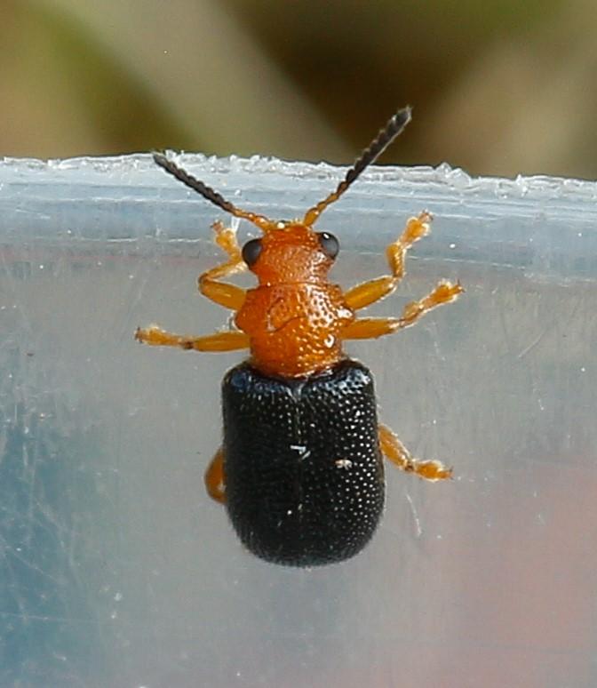 Foto/billede af Pukkelbladbille (Zeugophora subspinosa)