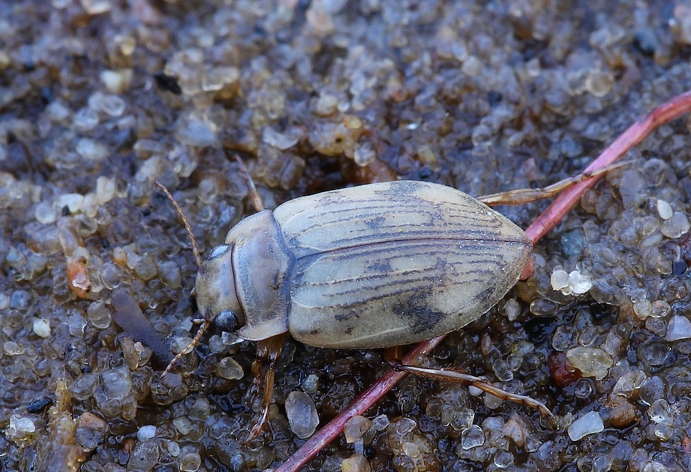 Nebrioporus canaliculatus (Nebrioporus canaliculatus)