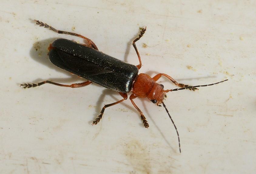Foto/billede af Ancistronycha cyanipennis (Ancistronycha cyanipennis)