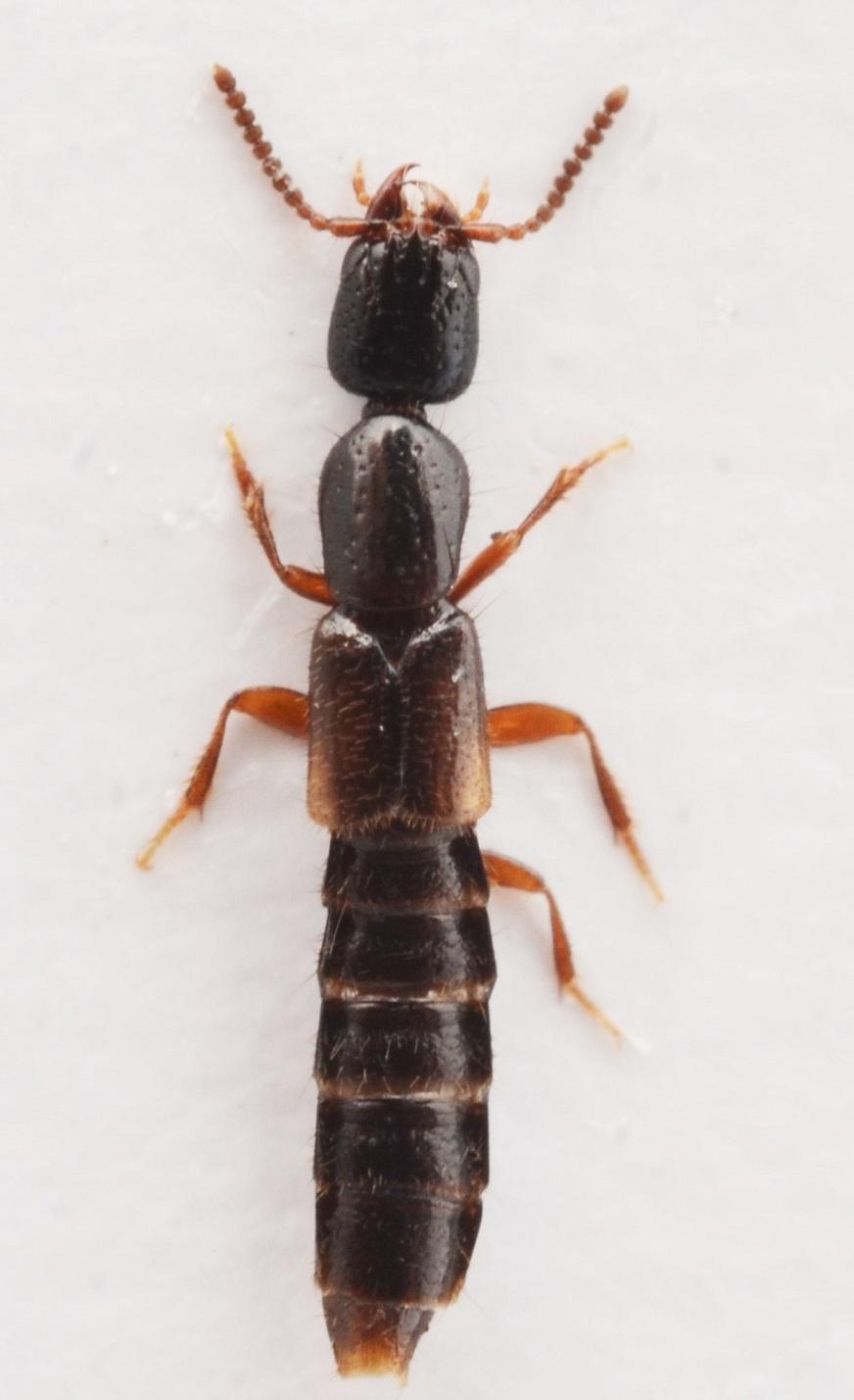 Leptacinus pusillus