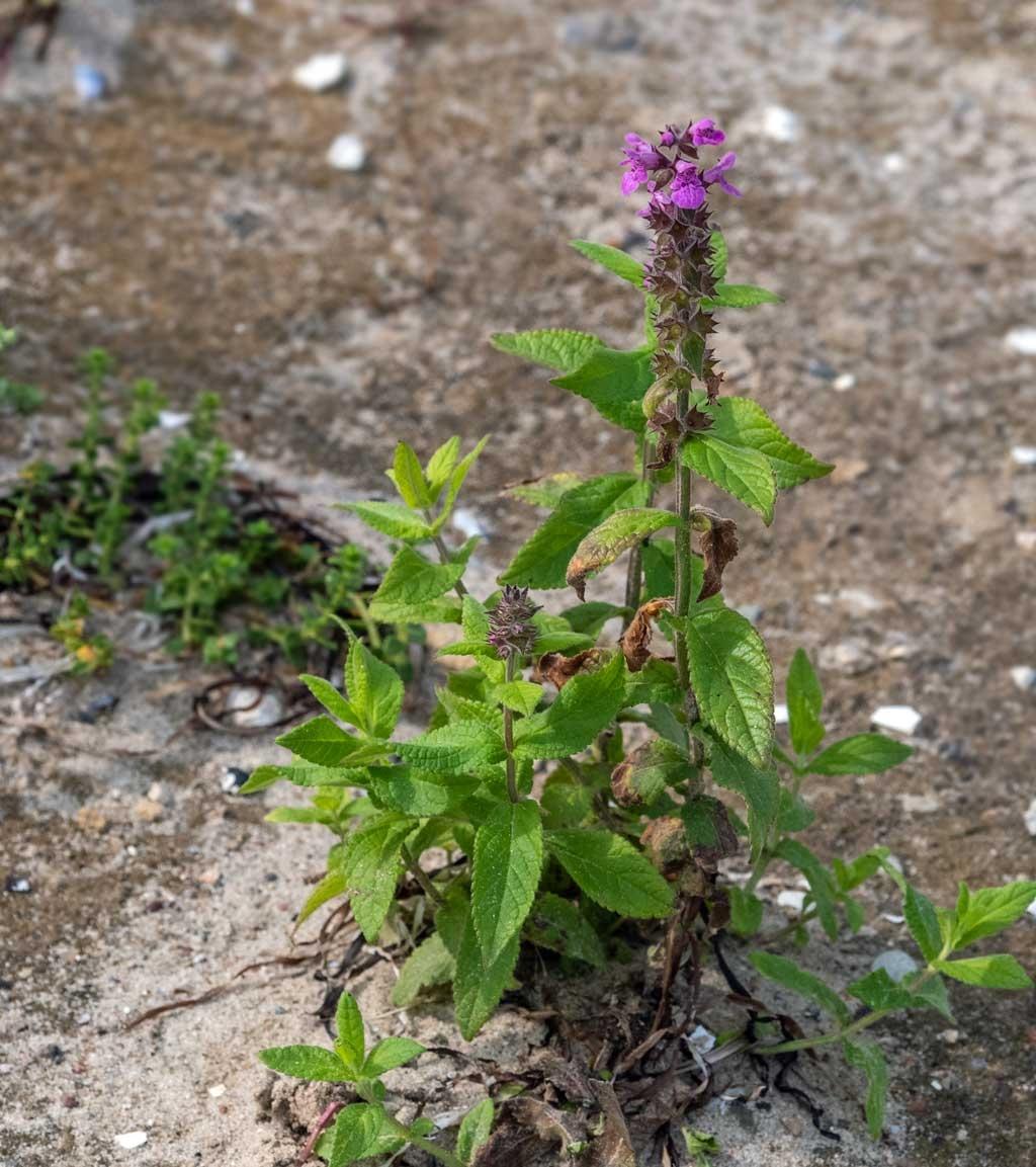 Foto/billede af Kær-Galtetand (Stachys palustris)