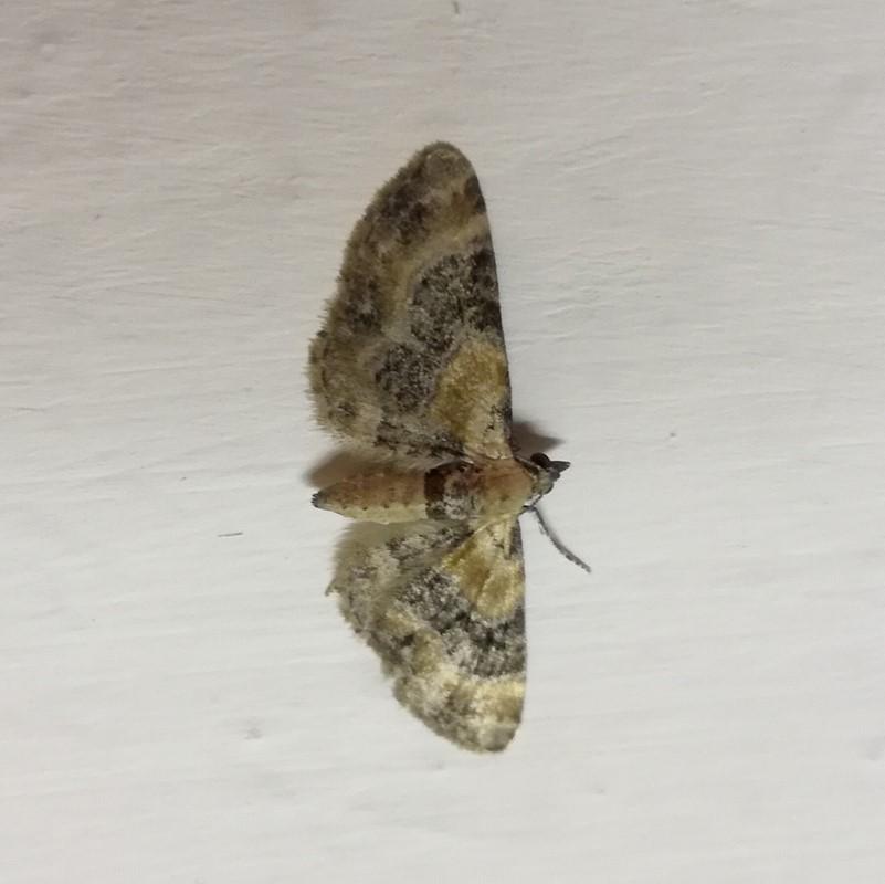 Foto/billede af Torskemunddværgmåler (Eupithecia linariata)