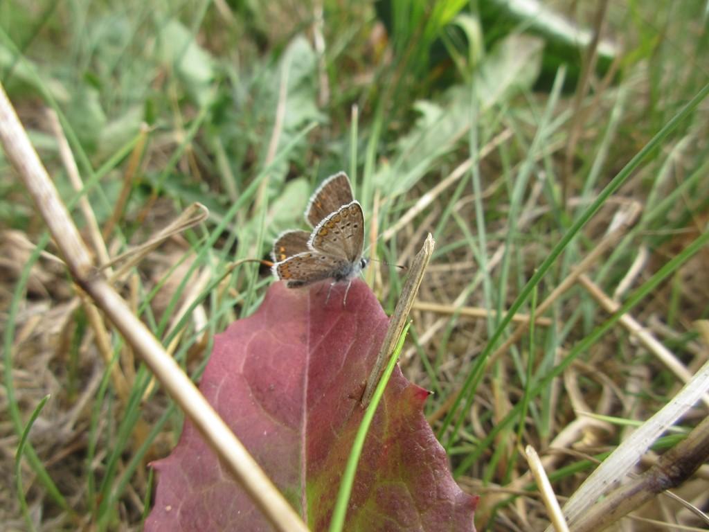 Rødplettet Blåfugl (Aricia agestis)